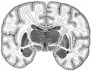 Vertical section of brain, vintage engraving.