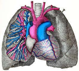 The pulmonary artery and aorta, vintage engraving.
