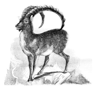 The Ibex, vintage engraving.