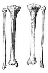 Leg Bones, vintage engraving