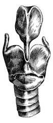 Anterior View of the Larynx, vintage engraving