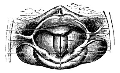 Normal Larynx, vintage engraving