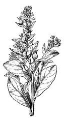 Lobelia swollen or Asthma weed, vintage engraving.