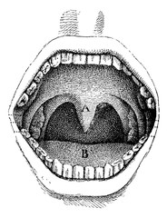 Mouth (inside of the cavity), vintage engraving.