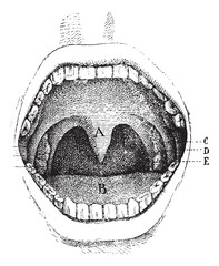 Mouth (inside of the cavity, vintage engraving.