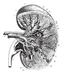 Kidney section, vintage engraving.