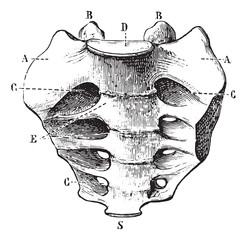 Sacrum seen by its front face, vintage engraving.