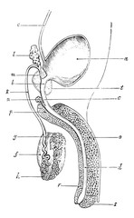 Genital and urinary tract of man, vintage engraving.