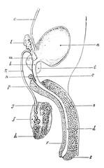 Genitourinary or Urogenital apparatus of man, vintage engraving.