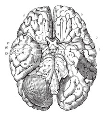 Base of the brain, vintage engraving.