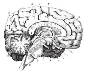 Middle and anterior-posterior section of the brain, vintage engr