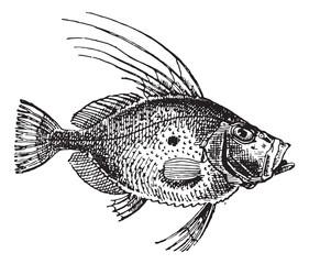 Saint Peter Fish or Zeus faber, vintage engraving.