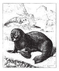 Sea lion, vintage engraving.