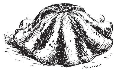 Pattypan squash or Sunburst squash, vintage engraving.