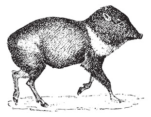 Peccary or Javelina, vintage engraving.