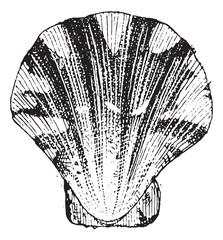 Comb mollusc, vintage engraving.