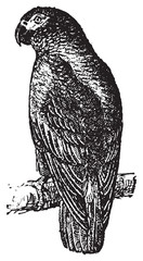 Parrot or Psittacines, vintage engraving.