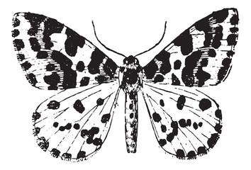 Moth, vintage engraving.