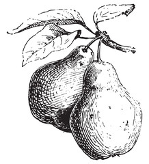 Pear, vintage engraving.