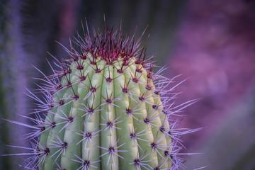 Closeup view of purple cactus thorns