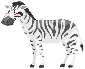 Wild zebra on white background