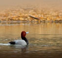 Male Redhead Duck (Aythya Americana)