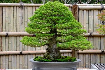 Bonsai of black pine