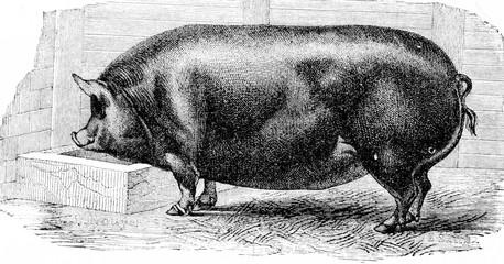 Pig, vintage engraving.