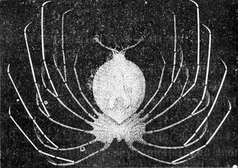 Lobster larvae, vintage engraving.