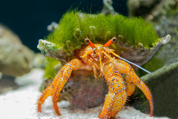 Hermit crab in the aquarium.