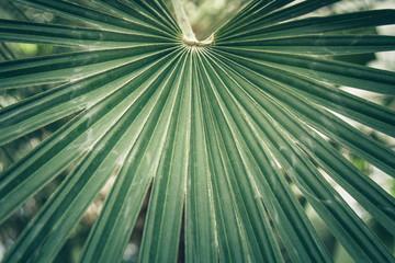 Fan leaf of a sabal palm, cabbage palmetto.
