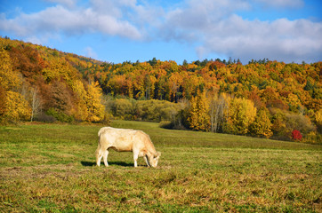 Alone cow grassing on autumn meadow with beautiful colorful trees in background. Lonely animal free in nature. Scenery with warm morning sunrise light