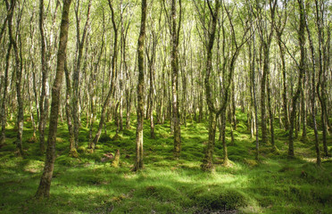 Amazingly green birch forest with lots of trees