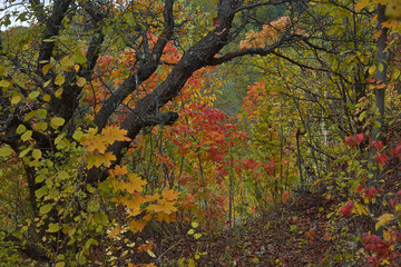 Old apple tree in autumn forest.