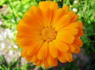 Marigold blooming flowers