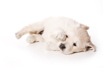 Puppy golden retriever dog (isolated on white)