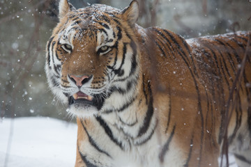 Bengal tiger in snow