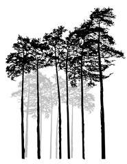 Realistic Relic black white pine forest. Monochrome isolated pine forest. Ship pines.