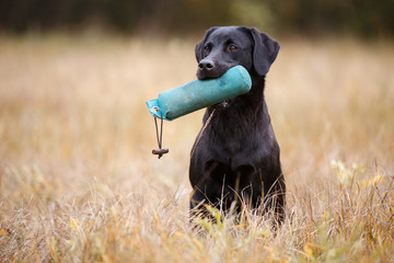 Black dog breed labrador retriever