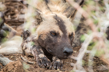 African wild dog sleeping in the dirt.