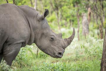 Side profile of a White rhino. Wall mural