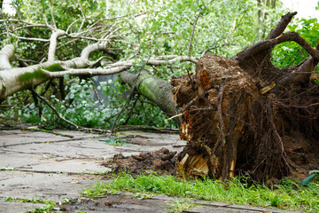 Big tree fall down after hurricane