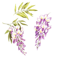 Set of flowers and leaves of wisteria. Hand draw watercolor illustration