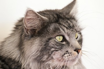 Maine coon resting at home