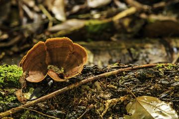 Mushroom in Jungle of Surinam