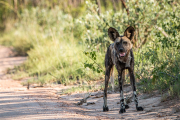 African wild dog starring at the camera.