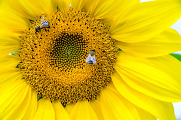 flower sunflower with bee sitting on it