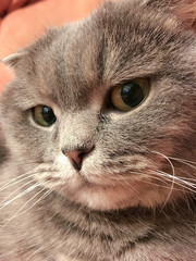 Funny face of scottish fold cat with big orange eyes. Funny sticker