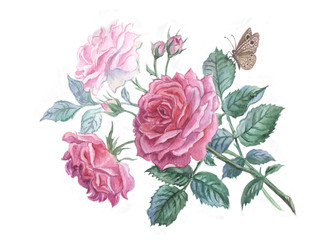 Pink roses and butterfly. Watercolor painting.