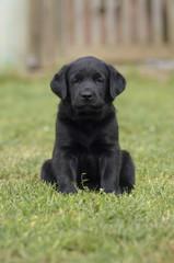 Schwarzer Labrador Welpe sitzt auf einer Wiese